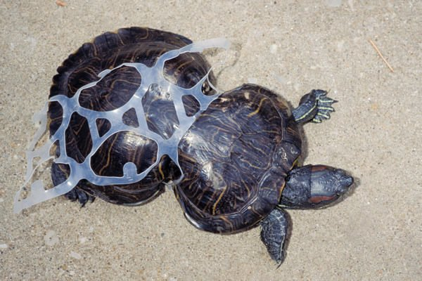 six pack turtle